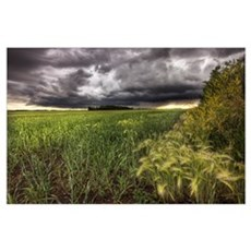 Thunder Clouds Over Field Of Wheat North Of Edmont Poster