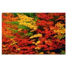 Leaves On Trees Changing Colour, Killarney Distric Poster