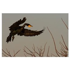Double Crested Cormorant Coming In For Landing, Fl Poster