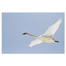 Swan In Flight, Yukon, Canada Poster