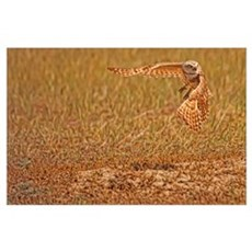 Burrowing Owl Taking Flight, Saskatchewan, Canada Poster