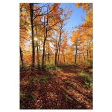Sugar Maple Trees In Fall, Saint-Simon, Quebec, Ca Framed Print