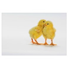 Baby Chickens Poster