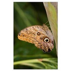 Owl Butterfly Resting On Trunk, Niagara Falls, Ont Poster