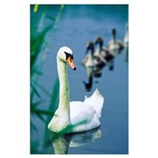 Ireland, Swan And Cygnets Poster