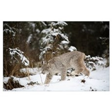 Lynx In The Snow Poster