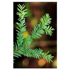 Pacific Yew Tree Leaves Poster