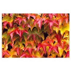 Close-Up Of Group Of Fall Colored Ivy Growing Toge Poster