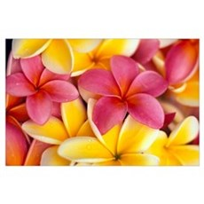 Close-Up Of Yellow And Pink Plumeria Flowers Poster