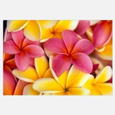 Close-Up Of Yellow And Pink Plumeria Flowers
