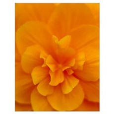 Extreme Close-Up Of Orange Begonia Blossom, Soft F Poster