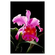 Studio Shot Of Single Purple Cattleya Orchid On Pl Poster