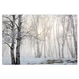 Birch trees Framed Prints