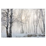 Birch trees Posters