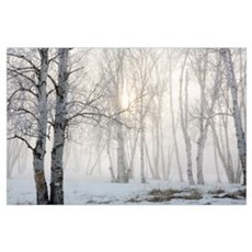 Ontario, Canada, Birch Trees In The Fog Poster