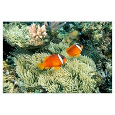 Fiji, Dusky Clownfish, Pair Swim Over Anemone Poster