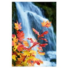 Maple Vine With Waterfall Poster