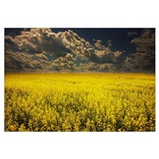 Alberta, Canada; A Canola Field Under Clouds Framed Print