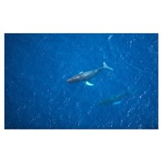 Hawaii, Maui, Aerial View Of Humpback Whales Framed Print
