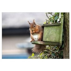 Red Squirrel Sitting On A Bird House Hung On A Tre Poster