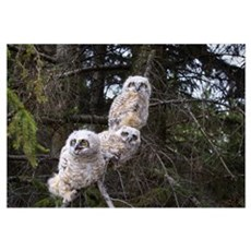 Three Great Horned Owl Chicks In A Tree; Edmonton, Poster