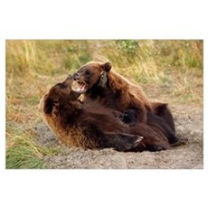 Adolescent Brown Bears Wrestling, Alaska Wildlife  Poster