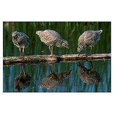 Adolescent Gull Chicks On Log Potter Marsh Sc Ak S Poster