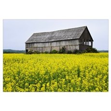 Canola Field And Old Barn, Bas-Saint-Laurent Regio Framed Print
