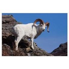 Dall Sheep On A Cliff, Denali National Park, Inter Poster