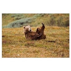 Brown Bear Lays On Its Back On The Tundra In Denal Poster
