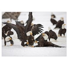 Two Adult Bald Eagles Fight On A Herring Fish, Ala Canvas Art