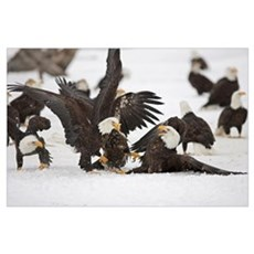 Two Adult Bald Eagles Fight On A Herring Fish, Ala Poster
