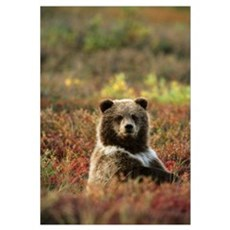 Yearling Brown Bear Cub Sits In Autumn Tundra In A Framed Print
