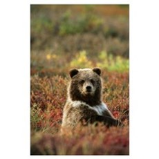 Yearling Brown Bear Cub Sits In Autumn Tundra In A Poster