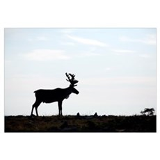 Silhouette Of Male Caribou On Alpine Tundra, Quebe Framed Print