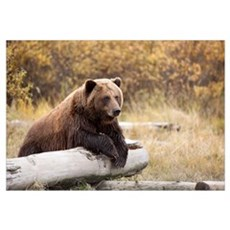 Adult Brown Bear Rests On A Log At The Wildlife Co Framed Print