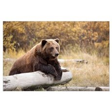 Adult Brown Bear Rests On A Log At The Wildlife Co Poster