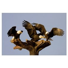 Group Of Perched Bald Eagles Fighting Over Fish, A Poster