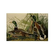 Audubon Mallard duck Bird Vintage Print Magnets