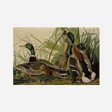 Audubon Mallard duck Bird Vintage Print Magnets