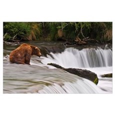 Brown Bear Patiently Sits At Brooks Falls For A Sa Poster