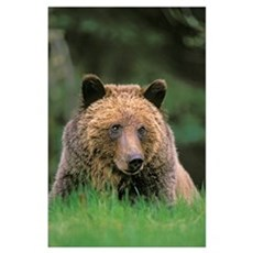Grizzly Bear, Five-Year Old Male, Spring, Rocky Mo Poster