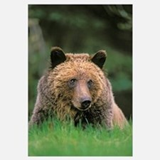 Grizzly Bear, Five-Year Old Male, Spring, Rocky Mo