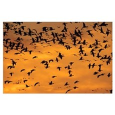 Hundreds Of Snow Geese In Flight, Province Of Queb Poster