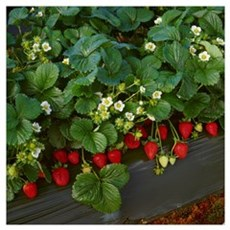 Closeup of strawberry plants Poster