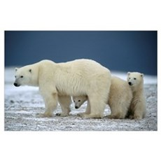 Cubs And Mother Polar Bear, Near Churchill, Manito Poster