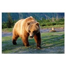 Captive Brown Bear Walking, Southcentral Alaska Poster