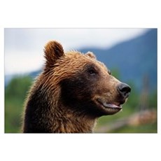 Closeup Of Brown Bears Head And Face, Southcentral Framed Print