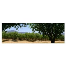 Pistachio orchard early in the growing season Framed Print