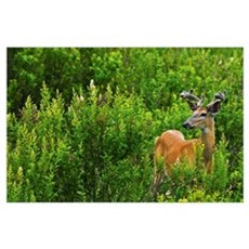 Whitetail Deer In Meadow, Killarney Provincial Par Poster